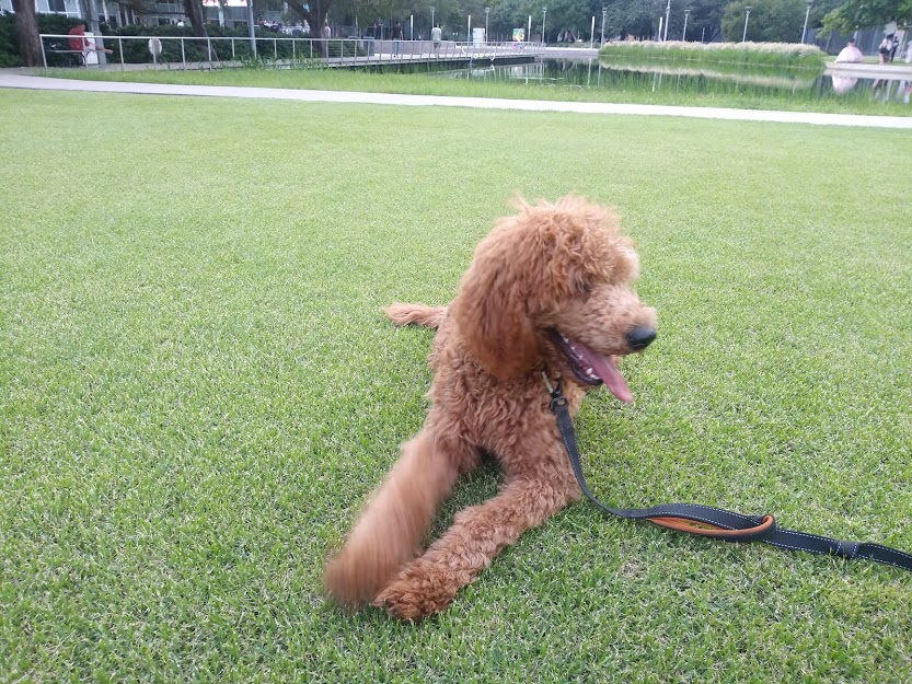 poodle at green park