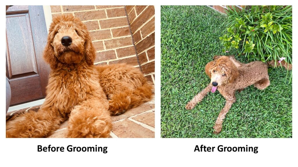 home groomed poodle
