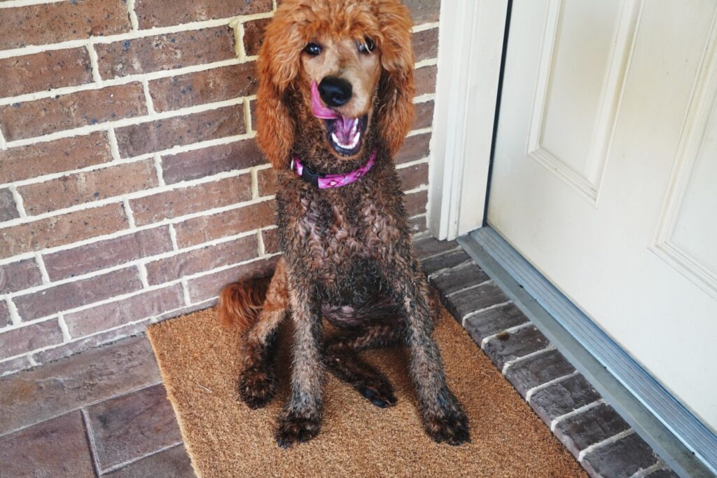 a dirty standard poodle