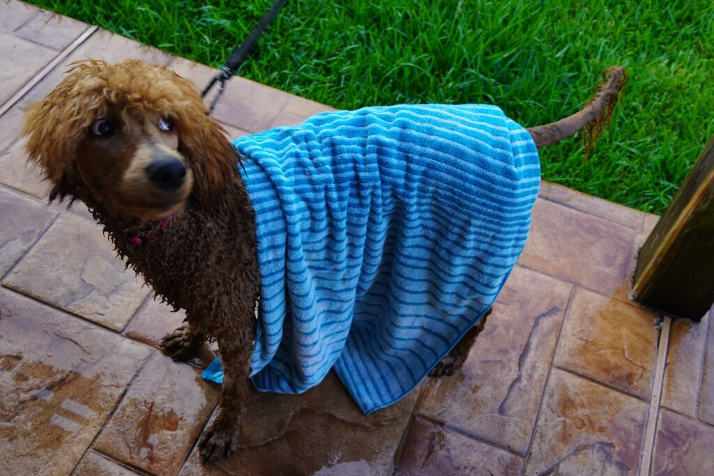 drying a poodle