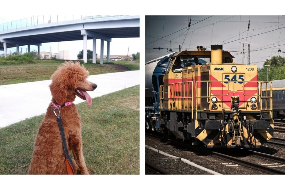 poodle seeing a railway train for the first time