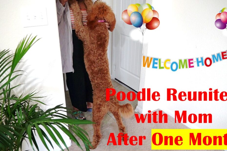 poodle reunites with mom