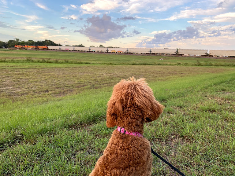 poodle looking at railway train