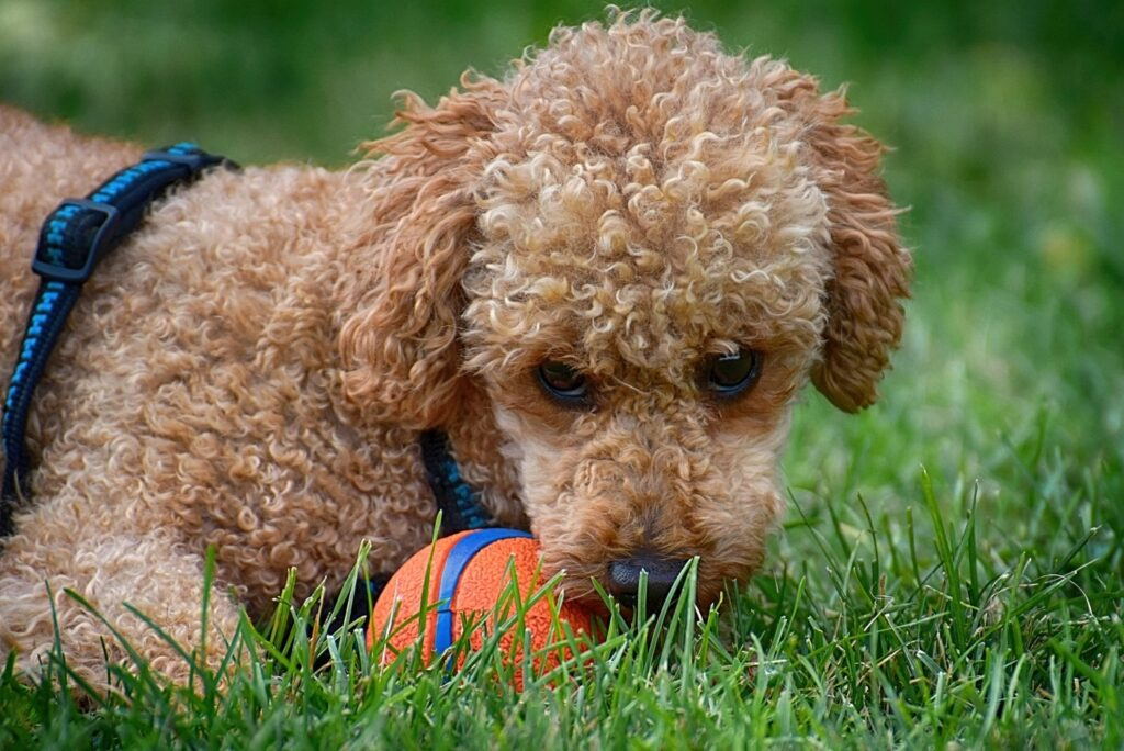 toy poodle playing with a ball