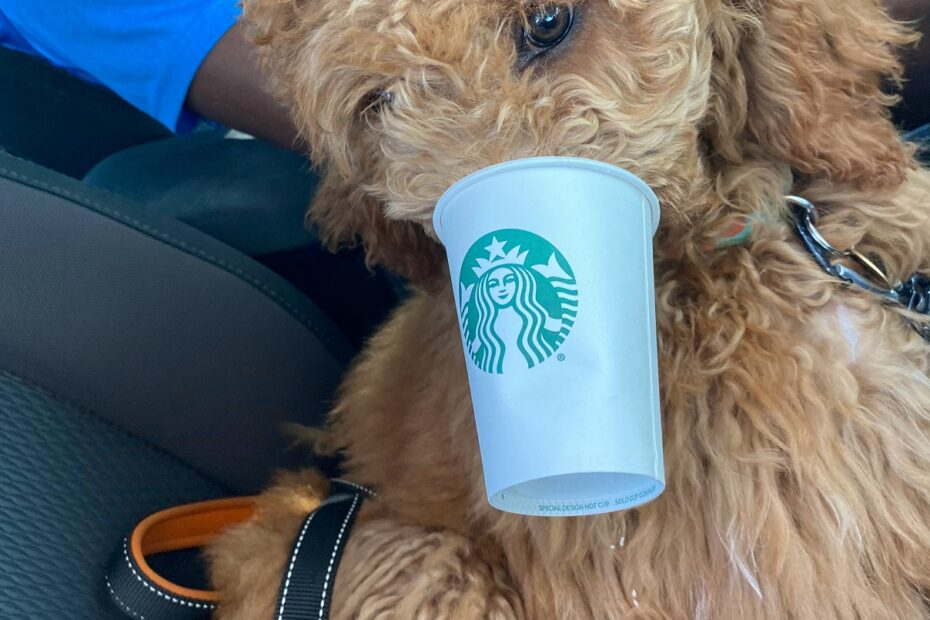 poodle having puppuccino