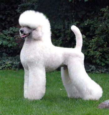 An adult male standard poodle