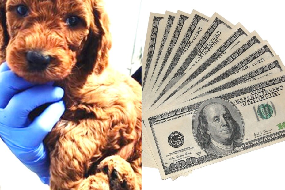 cost of standard poodle