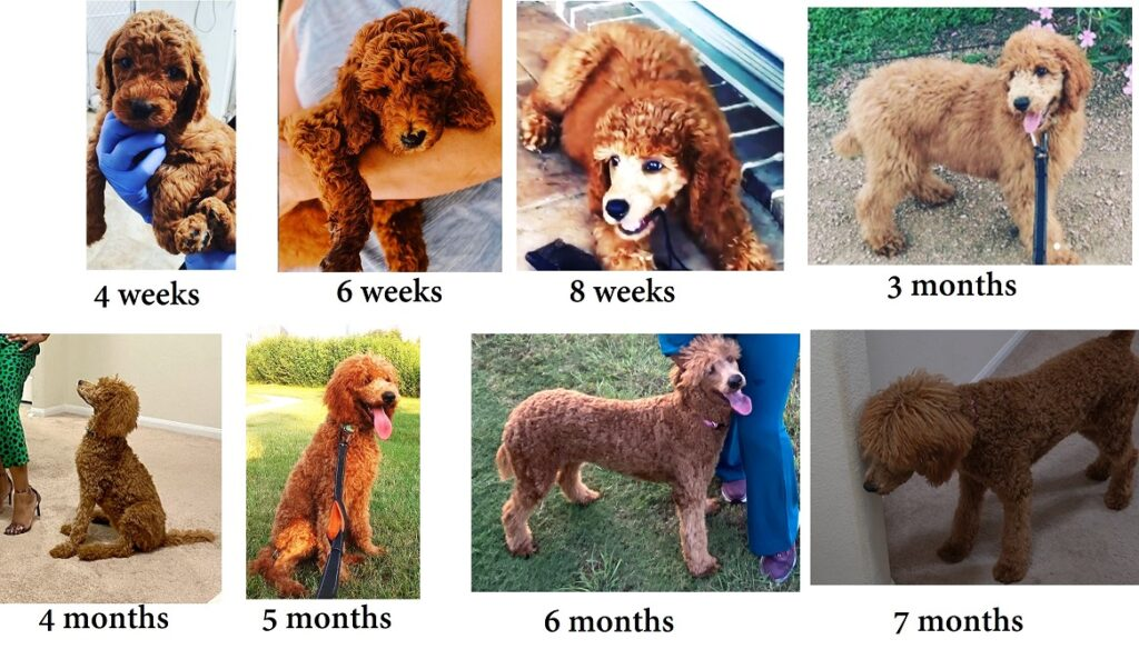 Growth Stages of my standard poodle in pictures