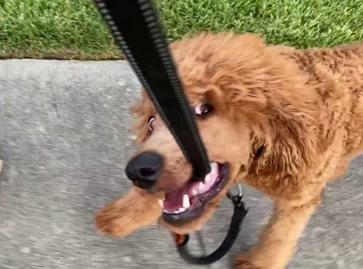 poodle chewing on leash