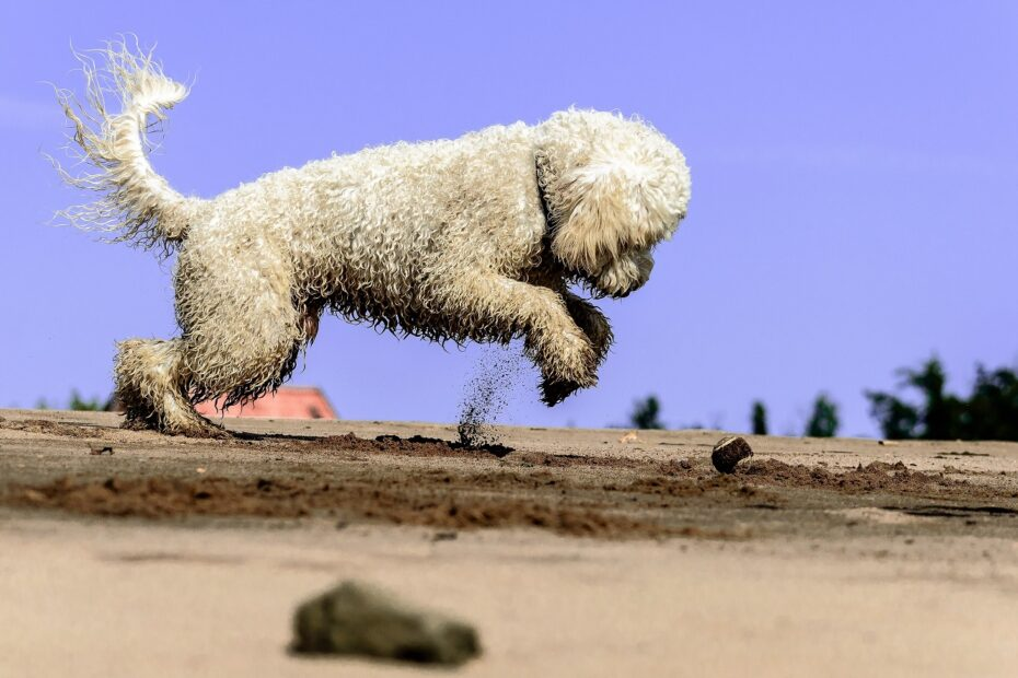poodle-playing-in-sand