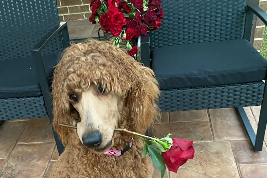 poodle holding rose flower in mouth