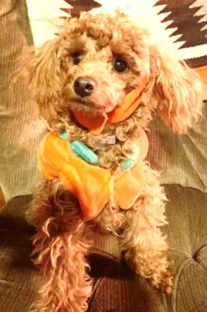 toy poodle at six months old