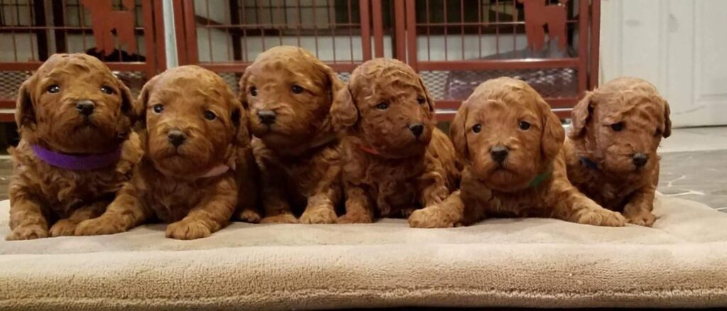 toy poodle litter