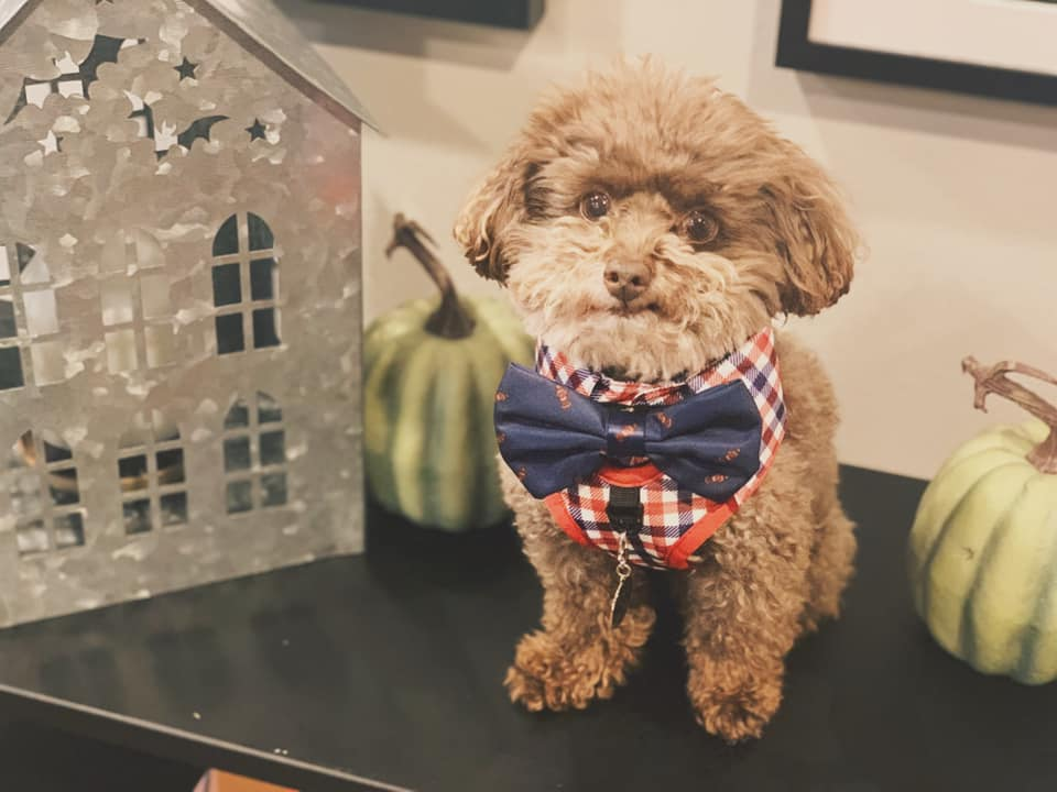 toy poodle with bow tie