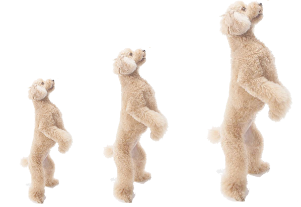 different sizes of miniature poodle