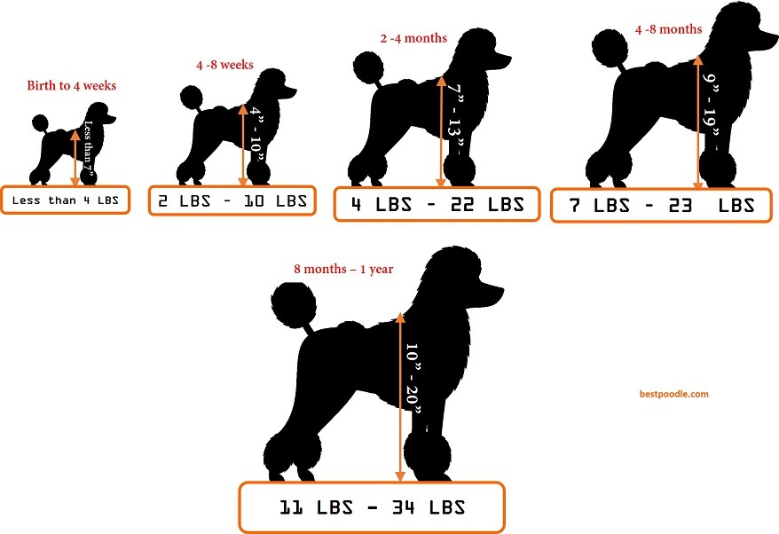 moyen poodle weight and height chart