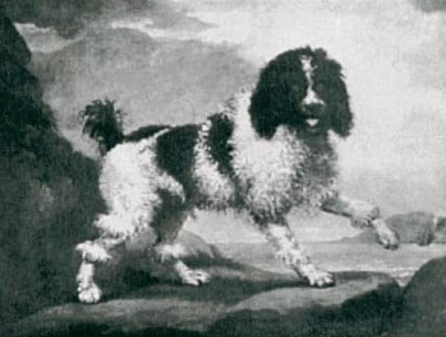 a parti colored poodle from a 1700 painting