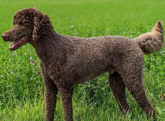 brown chocolate poodle