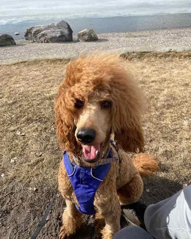 a poodle at one year of age