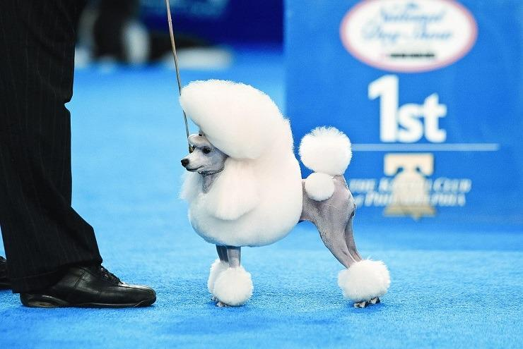 toy poodle at dog show