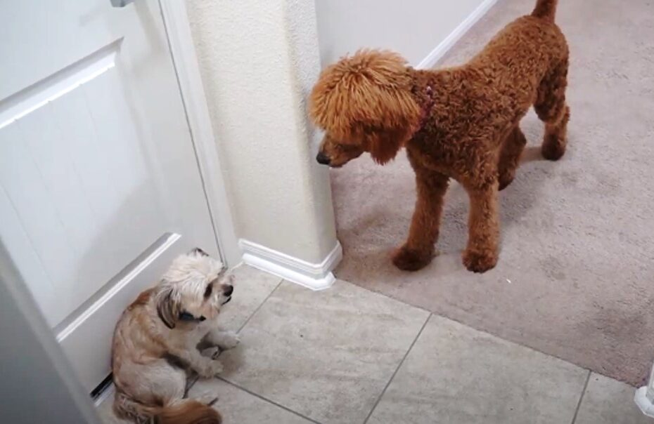 poodle trying to get along with another dog