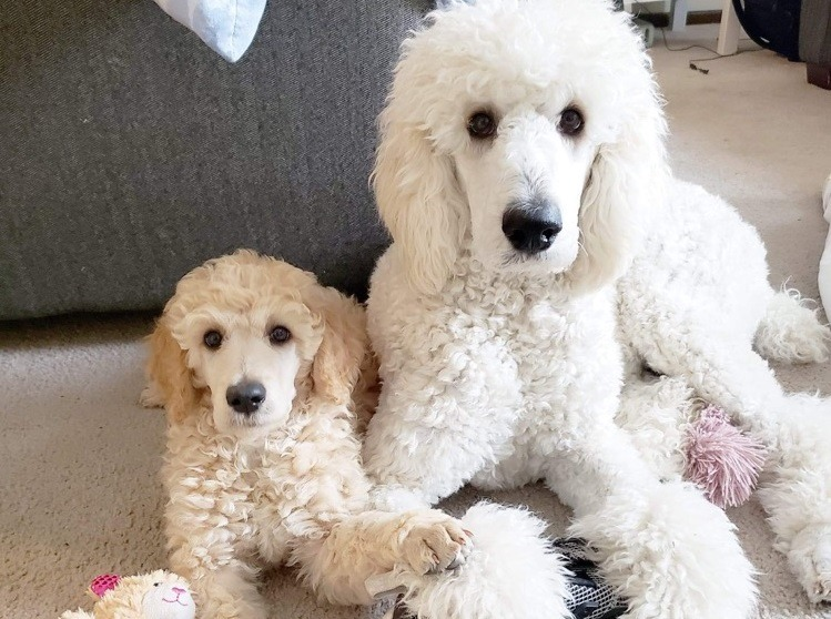 poodle and another poodle