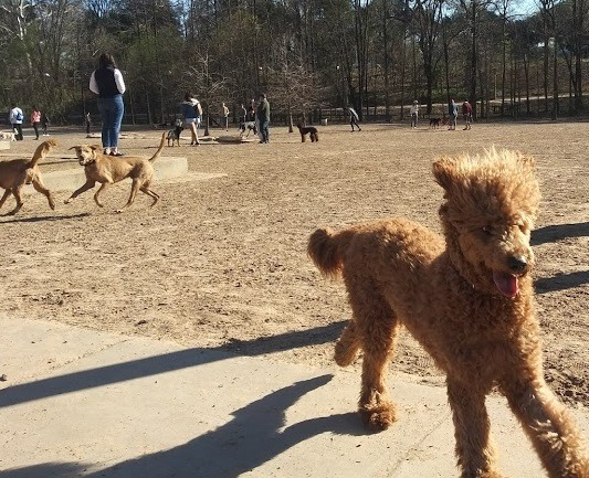 poodle playing in park