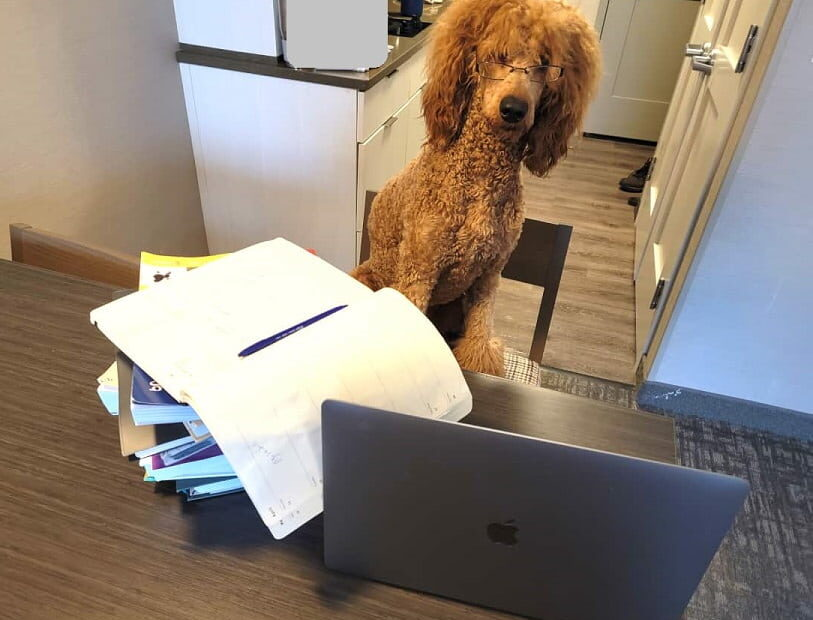 poodle sitting by books and laptop