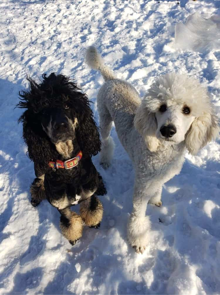two poodle on snow