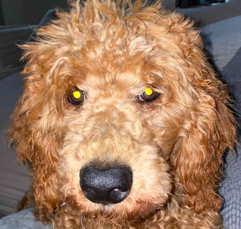 purebred poodle with black nose