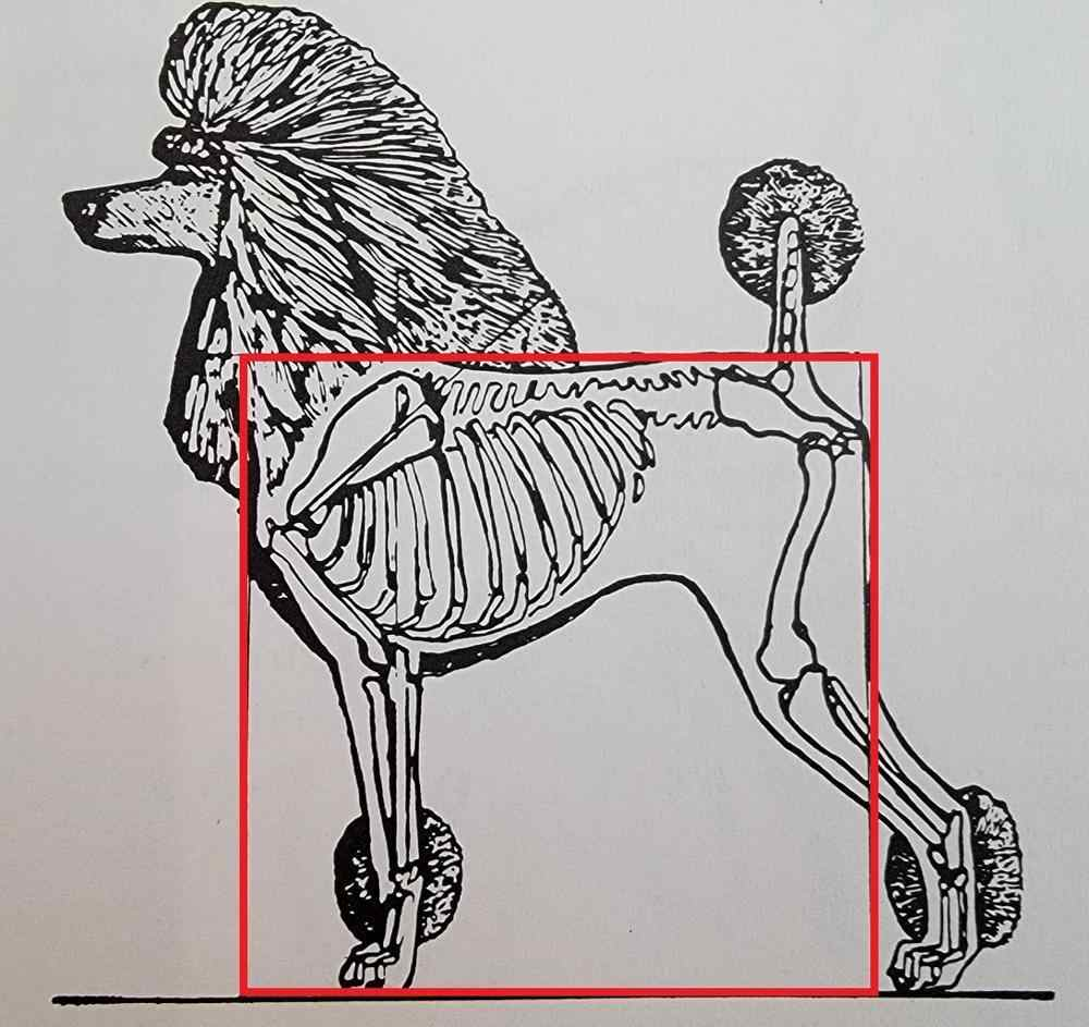 structure of a purebred poodle